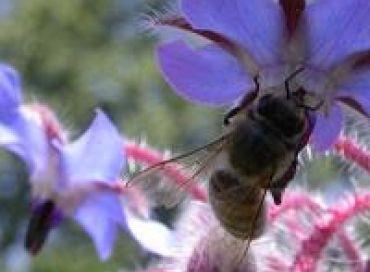 Les chroniques potagères : vive les abeilles !