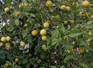 Les mille vertus du citron