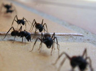 Que faire contre une invasion de fourmis