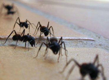 Que faire contre une invasion de fourmis