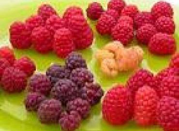 Les chroniques potagères :  les fruits rouges