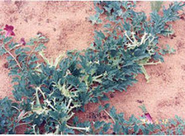 L'harpagophytum ou la griffe du diable