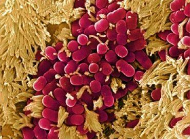 Le microbiote intestinal, un véritable organe ?
