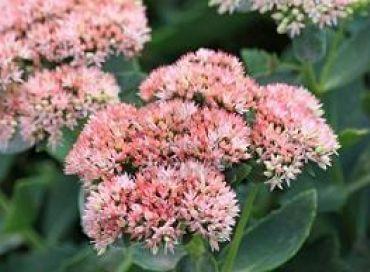 Rhodiola rosea ou orpin rose, la plante magique
