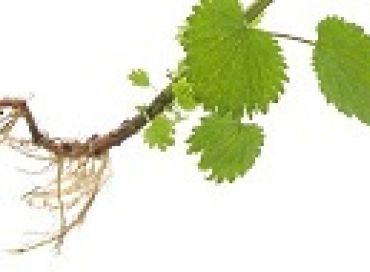 Les vertus de la racine d'ortie pour garder de blanches mains