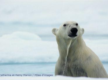 La santé de l'Ours polaire