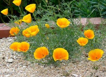 Le pavot jaune de Californie
