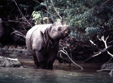 Au chevet du Rhinocéros de Java