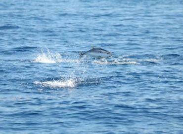 Sauver le thon rouge méditerranéen de l'extinction écologique