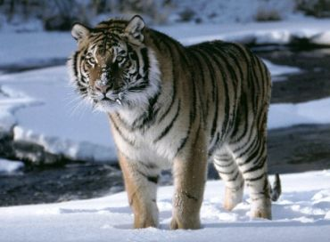 Le tigre de l'Amur
