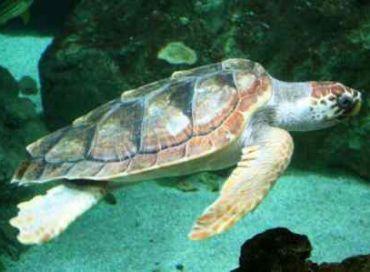 Les tortues marines du Mozambique