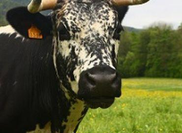 De l'importance de la corne chez les bovins !