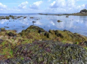 Les bigorneaux et les algues brunes une équipe qui fonctionne