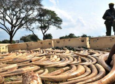 Les états complices du braconnage d'espèces menacées