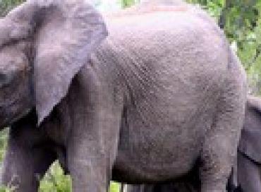 Du papier recyclé à base de crottin d'éléphant