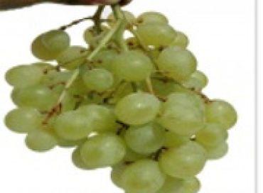 Vignes biodynamiques