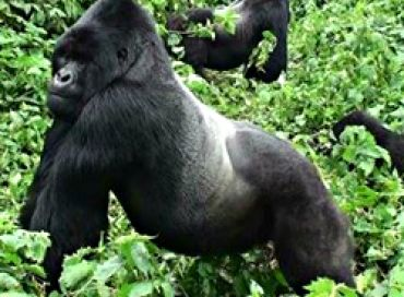 Les gorilles des montagnes, jardiniers de la forêt tropicale