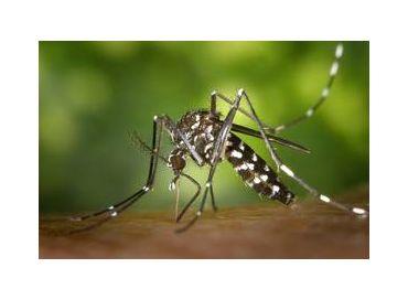 Lutte écologique contre le moustique tigre