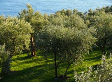 La taille de l'olivier
