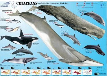 Accobams : au service de la conservation des cétacés de la Méditerranée et en