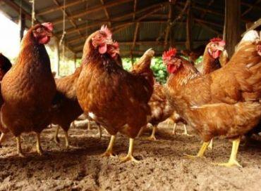 Les poulets et le réchauffement climatique