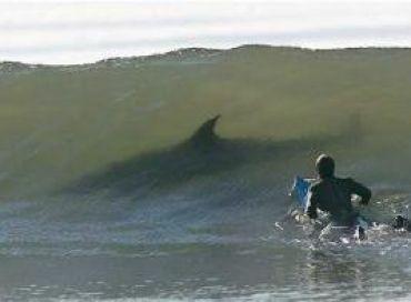 Voyage en eaux troubles pour les requins de La Réunion