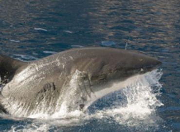 Le grand requin blanc de méditerranée