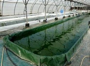 La spiruline, une micro-algue de 3 milliards d'années