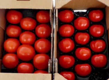 De nouvelles semences de tomates Bio